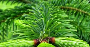 Nachhaltigkeit-und-Umweltschutz-beim-Weihnachtsbaum-mieten